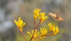 Hummingbird & Kangaroo Paws