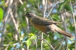 Chim Oanh - American Robin