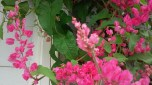 hoa tigon (9)
