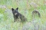 Black Bear (the Cub) at Yellowstone National Park