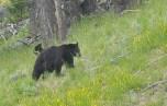 Blac Bear at Yellowstone National Park