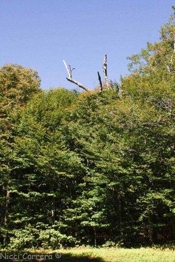 A dead tree at Mad River Glen ski area