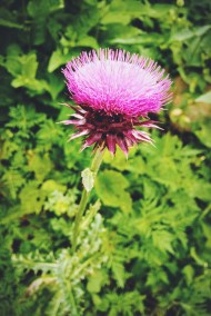 Maybe a thistle?