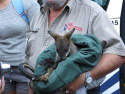 Baby kangoeroe!