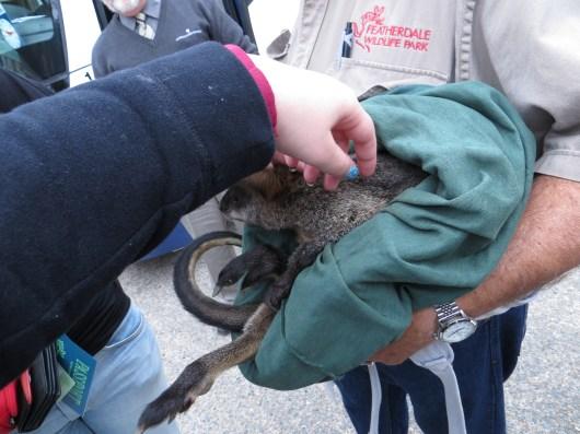 Baby kangoeroe aaien!