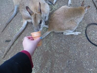Kangoeroes eten geven!