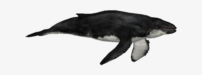 Whalehumpbackzs Zt2 Downloads Humpback Whale Transparent PNG 614x614 Free Download on NicePNG