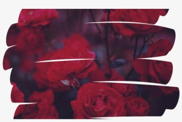 Rose Flower Overlay Aesthetic Tumblr Red Aesthetic Red Overlays Png Transparent PNG 1368x855 Free Download on NicePNG