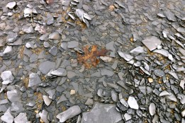 Oak leaf in the river
