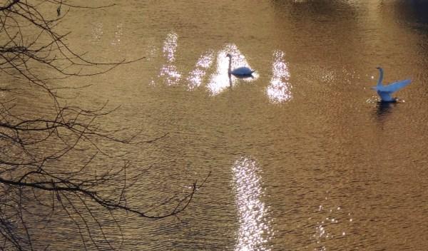 Swans patrol the waterways of Stockholm. Photo: D Degroot