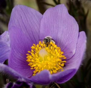 bee in crocus