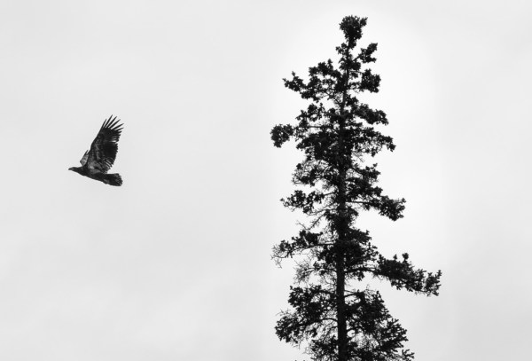 Spooked bald eagle