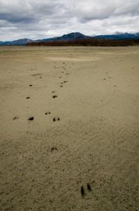 Ungulate tracks