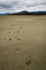 Ungulate tracks