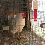 Plymouth Rock rooster, Halifax County Exhibition, 2014.