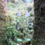 Twinflower (Linnea borealis)