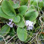 Mayflower (Epigaea repens)