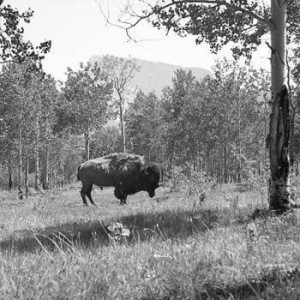 American Bison, Banff 1944. Source: Cowan_PH_021, U Victoria Special Collections. Found in Briony Penn's The Real Thing: The Natural History of Ian McTaggart Cowan (Rocky Mountain Books, 2015).