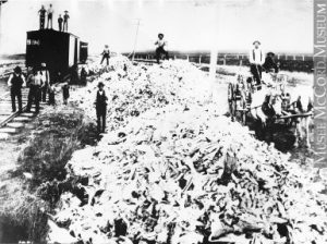 "Bye-bye, bison. Skeletal remains at Gull Lake, SK, ca. 1891, getting ready for a ride on the CPR to a fertilizer plant in Central Canada. McCord Museum, ""Buffalo bones gathered from the Prairies,"" anon., 1891, M-0000.298.11. CC-BY-NC-ND."