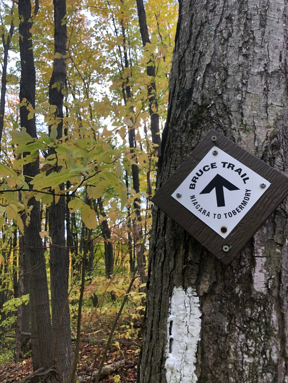 A Bruce Trail Arrow sign on a tree along the trail.