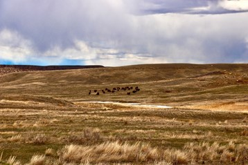 Grasslands in Grasslands National Park. Sky is cloudy. A herd of bison are in the background.