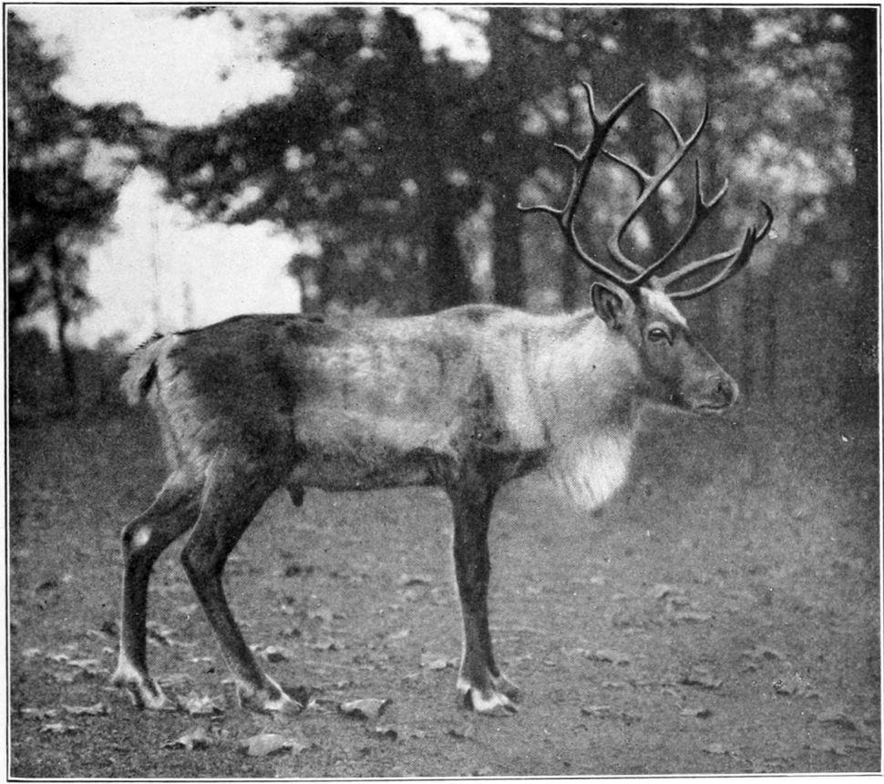 1913 photo of woodland caribou