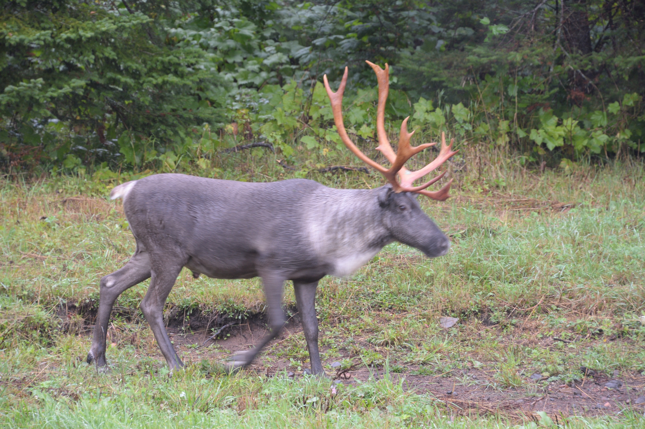 woodland caribou on Michipicotan Island