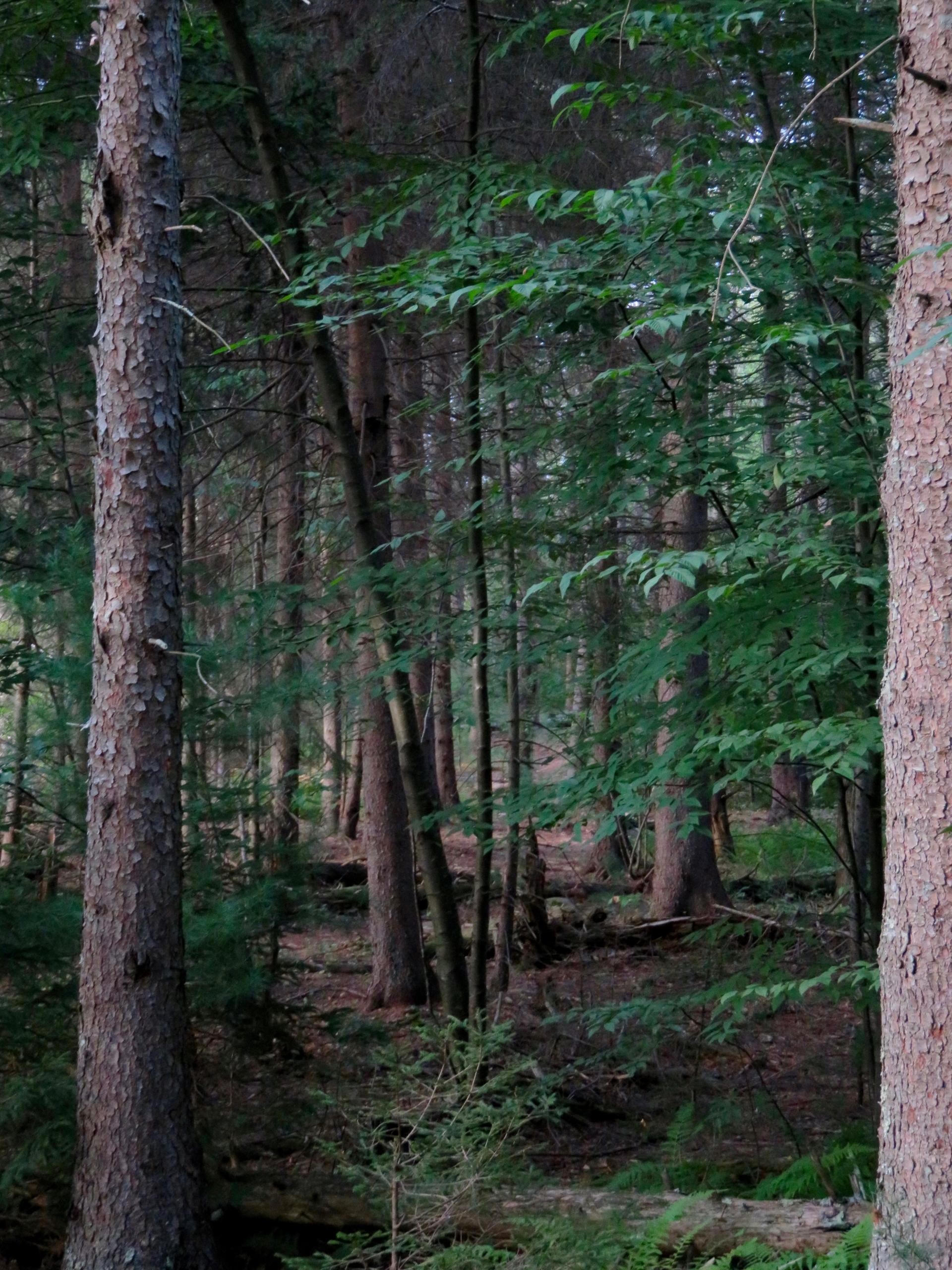Pachaug Forest, Connecticut