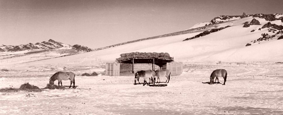 Reintroduced Przewalski's Horses in Mongolia