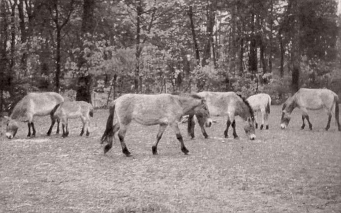 The Munich Hellabrunn herd of Przewalski's Horses, 1957