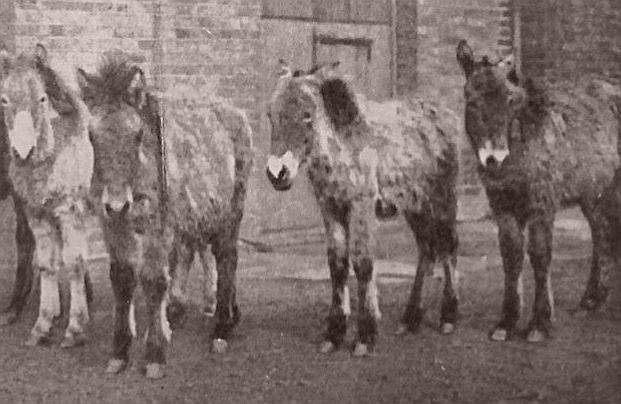 The scruffy-looking foals strained after tedious journeys arrive at London Zoo, 1902.