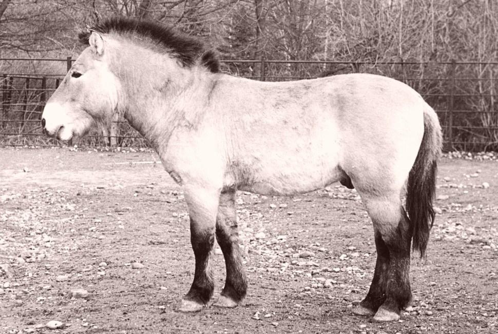 A stallion who sired 56 Przewalski's Horses in captivity.