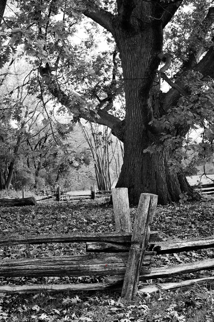 400 year old oak tree surrounded by a wooden fence at Bronte Creek Provincial Park.