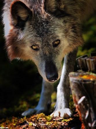 an elderly gray wolf