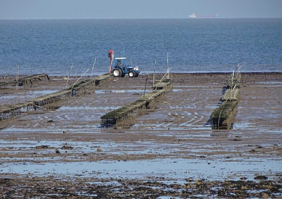 Oyster beds revealed at low tide in Whitstable