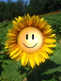 Smiley face sunflowert