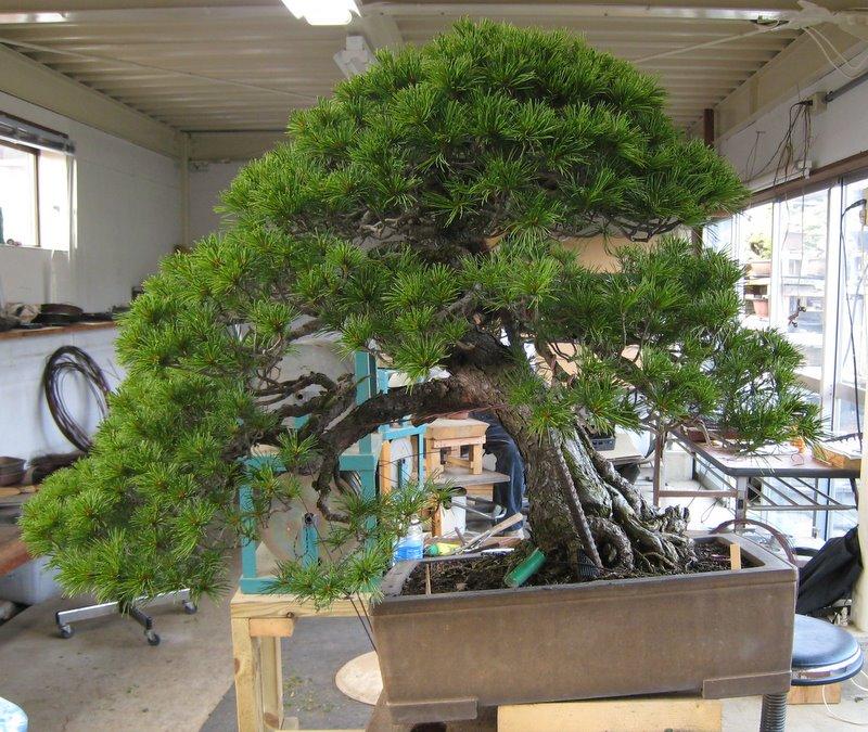best canopy chair sports bar tables and chairs pinus parviflora | nichigo bonsai