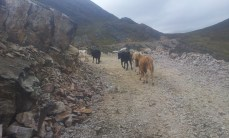 I chased these cows for a few kms before they finally got out of my way.