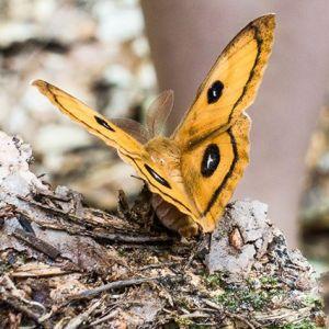 Beim Entpuppen. #Schmetterling #Nagelfleck