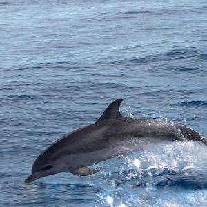 Delphine vor #Gomera