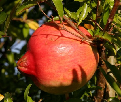 pomegranate_fruit.jpg