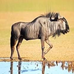 Blue Wildebeest trophy hunting. Blue Wildebeest standing next to a waterhole.