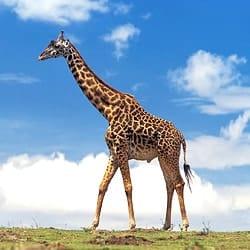 Giraffe trophy hunting