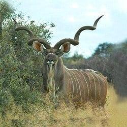Kudu trophy hunting is challenging. kudu have amazing eyesight.