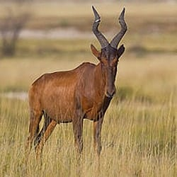Red Hartebeest trophy standing in the long grass