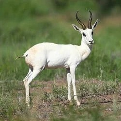 African plains animals. White Springbok trophy hunting