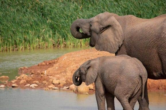 Elephant drinking. Enjoy a big five safari while on your hunt in South Africa
