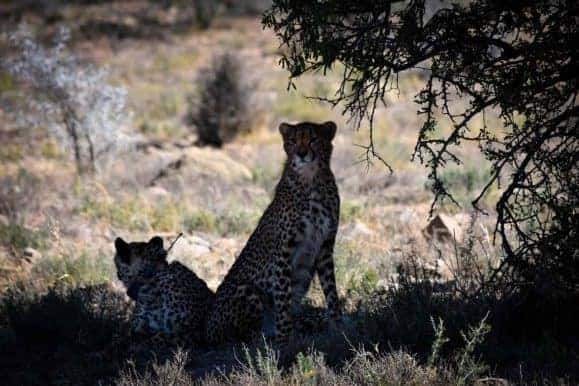 Enjoy cheetah taking while on your hunt in South Africa
