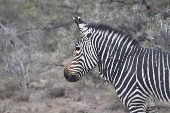 Visit the mountain Zebra park while on your hunt in South Africa.
