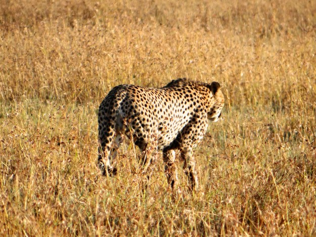 Cheetah 'timing' an impala